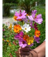 SHIP FROM US 200 Crazy Cosmos Wildflower Mix Seeds, ZG09 - $17.96