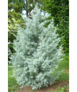 10 Pcs Seeds Blue Ice Cypress Cupressus Arizonica Glabra Tree - DL - $16.00