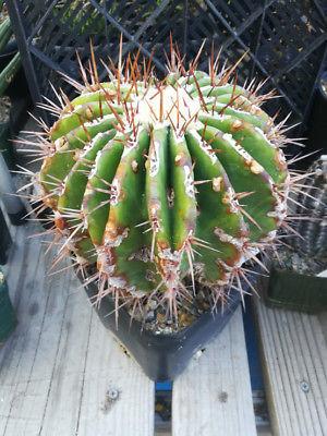 Echinocactus palmeri ingens platyacanthus Big Barrel Cactus 23