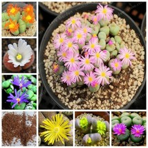Succulents Seeds Plant Seeds Raw Stone Flower Stone Flower Bunny Stone F... - $3.48+