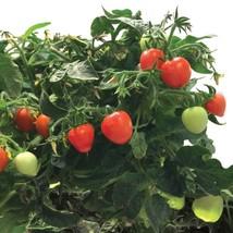 Miracle-Gro AeroGarden Mighty Mini Tomato 3-Pod Seed Pod Kit Non-GMO - £12.78 GBP