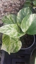 "4"" Pots Marble Queen Pothos Indoors/Outdoors plants 6 Leaves Easy Tropical  - $36.89"