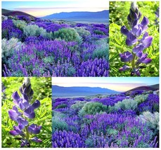 50 SWEET Blue LUPINE Flower Seeds - Lupinus angustifolius - $8.50