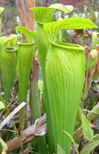 Primary image for Large Pitcher Plant Sarracenia Carnivorous Starter Plant