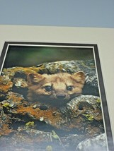 Pine Marten Weasel Keith Szafranski Montana Photograph Picture Matte Photo - $20.74