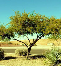 ACACIA FARNESIANA, vachellia rare mimosa tree bonsai aroma bush seed -20 seeds - $18.00
