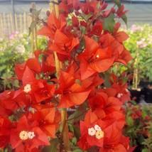 Flame Bougainvillea Live Plant TkGrayGarden - $39.00