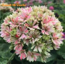 5 SEED are Geranium Seeds Giant Bi-color Red W/ White Pelargonium Bonsai A - $4.65