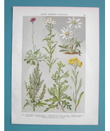 FIELD FLOWERS Edelweiss Mugwort Cat's Foot - COLOR Antique Botanical Print - $10.71