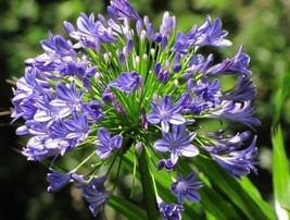 1 Agapanthus africanus(Large Plant root)African Blue Lily Hardy,Lily of ... - $22.10