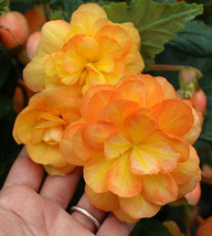 25 Seeds of Apricot Seed - Begonia Tuberous Illumination Series - $26.00