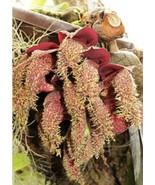 Bulbophyllum Phalaenopsis Freaky Orchid Plant FRAGRANT Species STINKY 0718A - $89.98