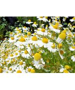 SHIPPED FROM US 4000+COMMON GERMAN CHAMOMILE Flower Organic Herbal Seeds... - $17.00