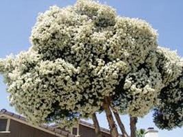 10 Giant Snow in Summer Seeds-1078 - $2.98