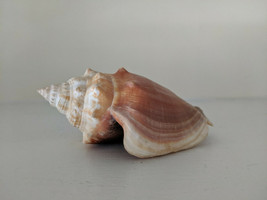 "Florida Fighting Conch Seashell Strombus alatus 4.25"" Beach Nautical Dec... - $14.00"