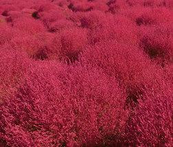 500 Seeds Exotic Kochia Scoparia Burning Bush - $36.95