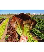 Lettuce Seeds - Romaine - Cimmaron - Vegetable Seeds - Outdoor Living - ... - $25.50+