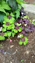 6 Pcs 3 Types Shamrock Oxalis- Purple Triangularis, Iron Cross & Rosea-B... - $16.99