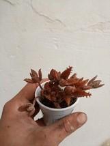 "Bryophyllum daigremontianum ""devil's backbone"" - Pflanze - $6.77"