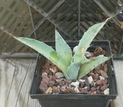 Agave sebastiana Blue Leaves Giant Baja Succulent Plant  - $14.80