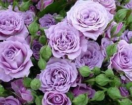 """ 20 seeds The Rare Light Purple Rose with Three Spirals Perennial Flowe... - $9.10"