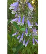 Native Plant, Hairy Pemstemon, Penstemon hirsutus - $3.50