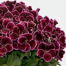 10 Pcs Seeds Maroon Geranium Perennial Flower - RK  - $14.00