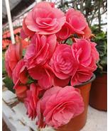10 seeds ,Rose Rieger Begonia flower ,Ideal Potted flower plant seeds - $5.99