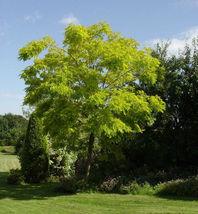 """3""""-7"""" inches Small Black Locust Tree Robinia Pseudoacacia Live Plant Garden - $66.00"""