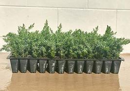 "Juniper Blue Pacific - 40 Live Plants - 2"" Pot Size - Evergreen Ground Cover 'Sh - $104.98"