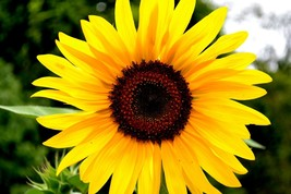 Wall Decor Canvas or Matted Print - Sunflower - $110.00