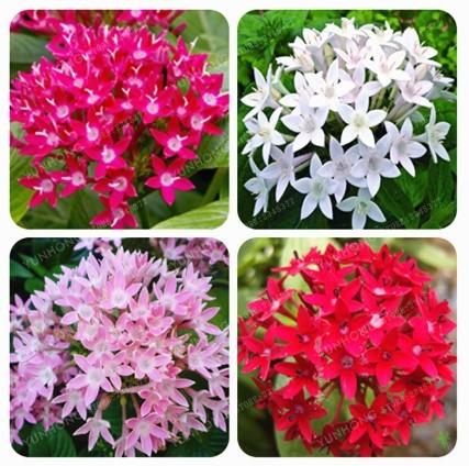 Super 50 Seeds Pentas Lanceolata Flower Egyptian Starcluster Air Purifying