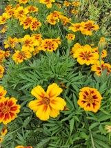 Marigold Dainty Marietta Tagetes Patula 25 Flower Seeds - $12.98