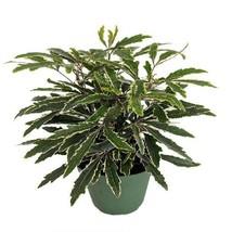 Exotic Ming Bonsai Tree Bianca Snowflake Chinese Polyscia Home Plant  in... - $24.40
