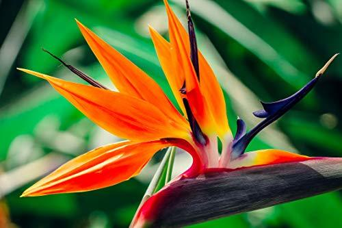 Bird of Paradise Hawaii Strelitzia Starter Plant  - $29.88