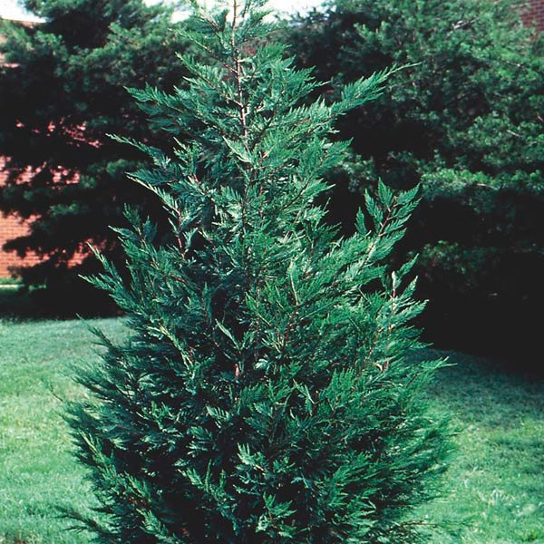 "25 LEYLAND CYPRESS TREE plants 2 1/2"" pot (X Cupressocyparis  leylandii)"