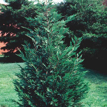 "25 LEYLAND CYPRESS TREE plants 2 1/2"" pot (X Cupressocyparis  leylandii) image 1"