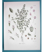 GARDEN THYME Medicinal Thymus Vulgaris - Beautiful COLOR Botanical Print - $15.30