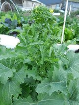 1 oz Packets of Organic Spring Rapini Broccoli Plants - $32.37