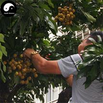 Buy Longan Fruit Tree Seeds 60pcs Plant Longan For Chinese Fruit Longan - $9.99