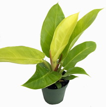 """4"""" Pot - Moonlight Philodendron - Easy to Grow - Outdoor Living - Garden - tkhit - $51.00"""