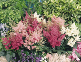 100 Seeds / Pack Mixed Astilbe Chinensis Professional Pack - $16.99