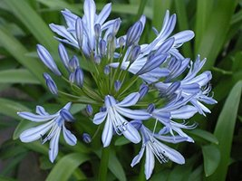 Agapanthus Africanus Blue Live Plant Shrubs Plant Fit 05 Gallon Pot - $34.99