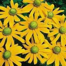 Rudbeckia Green Eyes Flower Seeds (Rudbeckia Hirta) 100+ Seeds - $5.43+