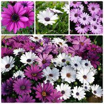 20 Organic Mix African Daisy - Osteospermum ecklonis Flower Seeds - $5.30