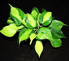 "4"" Pot Philodendron BRASIL EASY Tropical Full Large GORGEOUS Houseplant  - $35.19"