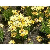 Mixed African Daisy Daisies Flower 1000 Seeds #SFB11 - $18.17