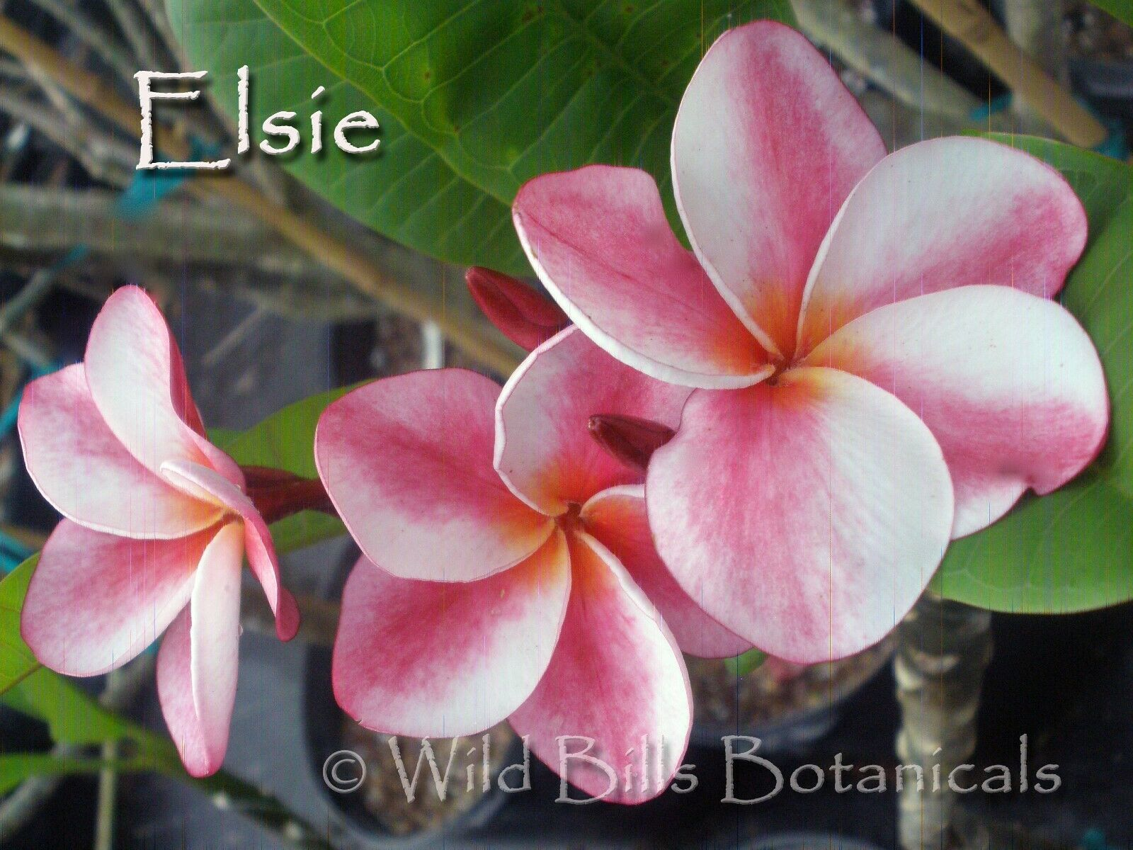 Primary image for Elsie Thailand Plumeria Frangipani tip cutting Fragrant Rare Exotic