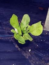 Endive, Batavian Full Heart, Cichorium endivia, 4in potted plant, Organic - $6.80