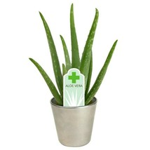 Month's Special 6 Aloe Vera Medicine Plants Organically Grown / Free Shipping - $19.79